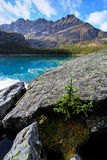 Small pine tree growing on rocks, Lake O'Hara, Yoho National Par Royalty Free Stock Image