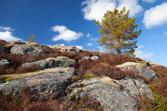 Small pine tree grows on rocks. Norwegian spring nature fragment. Small pine tree grows on rocks Royalty Free Stock Photo