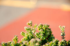 Small pine tree leaf. Top view of branches of young trees Royalty Free Stock Photo