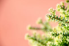 Small pine tree leaf. Top view of branches of young trees Stock Photos