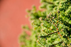 Small pine tree leaf. Top view of branches of young trees Stock Images