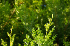 Small pine tree leaf. Top view of branches of young trees Stock Image