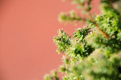 Small pine tree leaf. Top view of branches of young trees Royalty Free Stock Photos