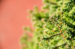 Small pine tree leaf. Top view of branches of young trees Royalty Free Stock Photography