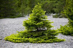 Small pine tree and limestone gravel.JH. Small pine tree growing on limestone gravel with forest in the background.JH stock images