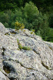 Small Pine tree on a rock Stock Images