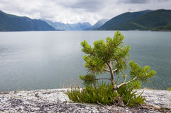 Small pine tree on a rocks with lake and mountains on a background, Norway. Small pine tree growing on a rocks with lake and mountains on a background, Norway Royalty Free Stock Image