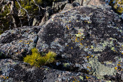 Small pine tree on a rocks with mountains on a background. Small pine growing on a rock Stock Images