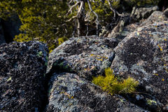 Small pine tree on a rocks with mountains on a background. Small pine growing on a rock Stock Photo