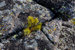 Small pine tree on a rocks with mountains on a background. Small pine growing on a rock Royalty Free Stock Photos