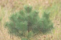 A small pine tree with soft bokeh Royalty Free Stock Photography