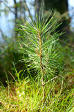 Small pine tree. Small pine tree at spring sunny day Stock Photography
