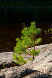 Small pine-tree on a stone. Single small pine-tree grown on a stone near the lake Stock Images