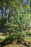 Small pine tree in summer forest. Small pine tree in summer forest, Karelian Isthmus, Russia Stock Image