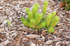 Small pine Stock Photos