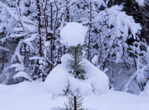 Small pine-tree under snow Stock Photography