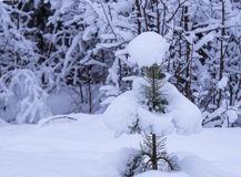 Small pine-tree under snow Royalty Free Stock Photos