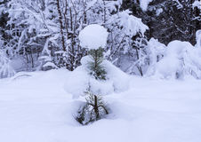 Small pine-tree under snow Royalty Free Stock Photography