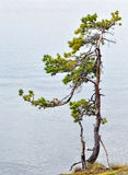 Small pine tree. Small pine tree on water background at cloud day Royalty Free Stock Image