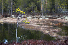 Small pine tree in wetland Royalty Free Stock Images