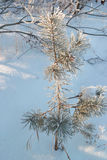Small pine. Tree in winter forest Royalty Free Stock Photography