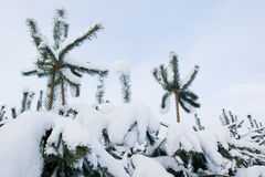 Small pine trees covered in snow Royalty Free Stock Photos