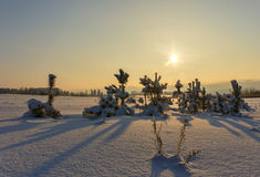 Small pine trees covered with snow sunset. Royalty Free Stock Photos