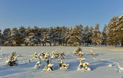 Small pine trees covered with snow. Stock Photo