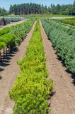 Small pine trees growing in a nursery Stock Image