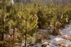 Small pine trees Stock Photo