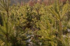 Small pine trees Stock Image