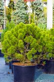 Small pine trees sold in black pots in garden center Royalty Free Stock Image