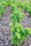 Small pine trees Stock Photos