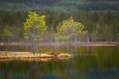 Small pine trees in tarn Royalty Free Stock Images