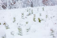 Small pine trees under snow. Stock Photo
