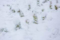 Small pine trees under snow. Stock Photography