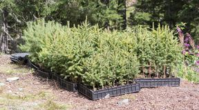 Small pine trees waiting to be planted in a forest Stock Images