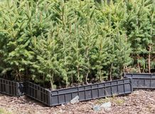 Small pine trees waiting to be planted in a forest Stock Photo