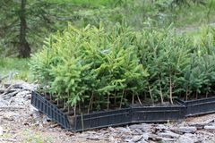 Small pine trees waiting to be planted in a forest Stock Photography