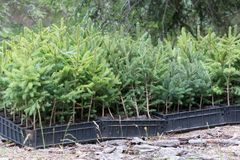 Small pine trees waiting to be planted in a forest Stock Photos