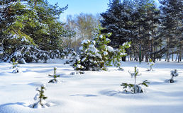 Small pines covered with snow Royalty Free Stock Images