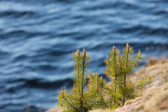 Small pines on rocks Stock Photos