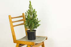 Small pinetree in a pot on a chair. Over white wall Stock Photo