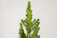 Small pinetree in a pot. Over white wall Royalty Free Stock Images