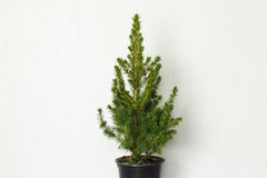 Small pinetree in a pot. Over white wall Stock Images