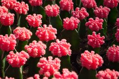 Small pink cactus selective focus in flowerpot houseplant. At the farm stock images