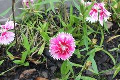 Small pink carnation. Dianthus barbatus Royalty Free Stock Photos