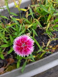 Small pink carnation. Dianthus barbatus Royalty Free Stock Photo