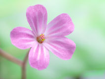Small Pink Flower Royalty Free Stock Photos
