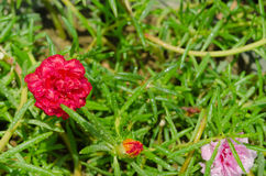 A small pink flower Royalty Free Stock Image